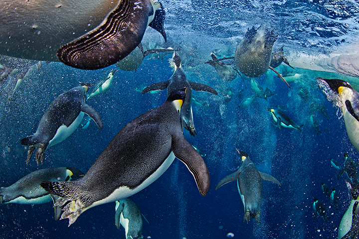 Environnement Wildlife Photographer of the Year Bubble-jetting emperors
