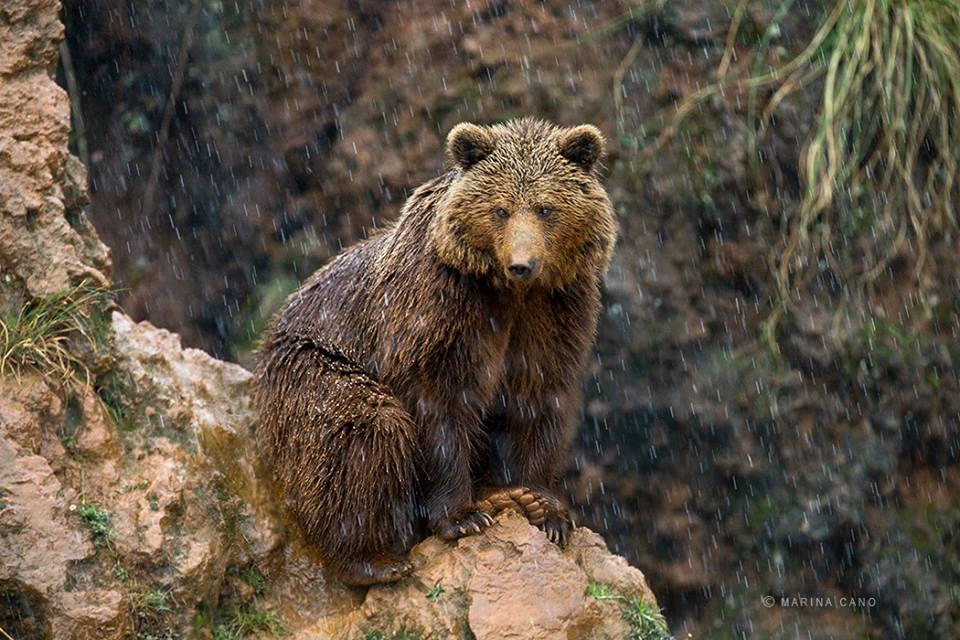 Cano-Bear