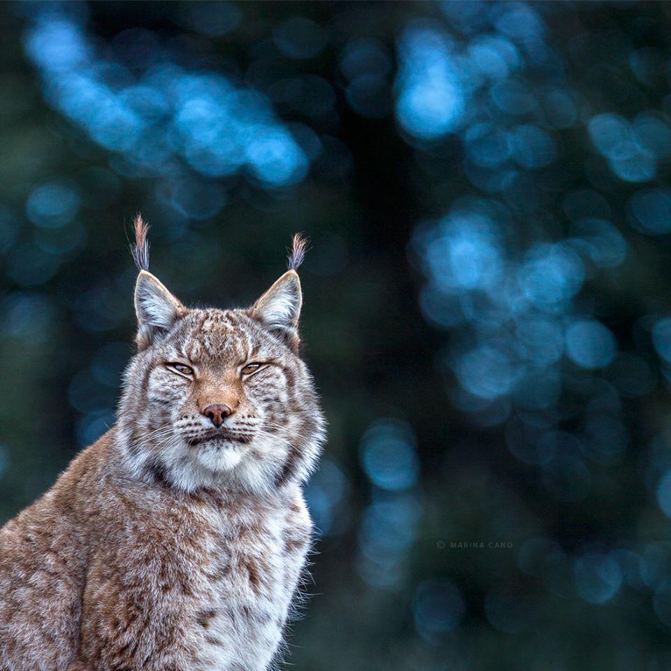 Lynx at Cabarceno Wildlife Park, Spain